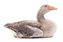 Grey Goose.