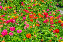 Colorful Indian Blanket Flower In The Park