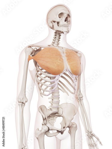 Photo medically accurate muscle illustration of the pectoralis major
