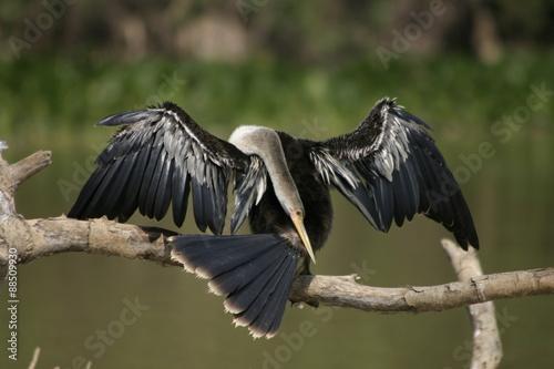 Grooming Snakebird Slika na platnu