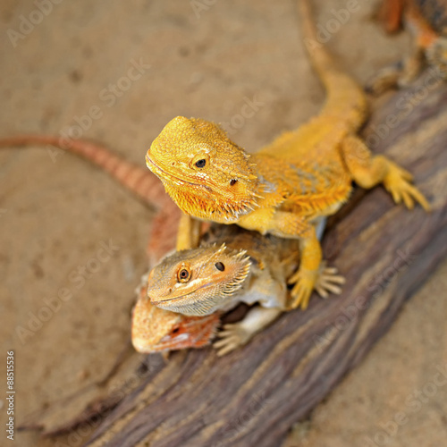 fototapeta na szkło bearded dragon or pogona vitticeps