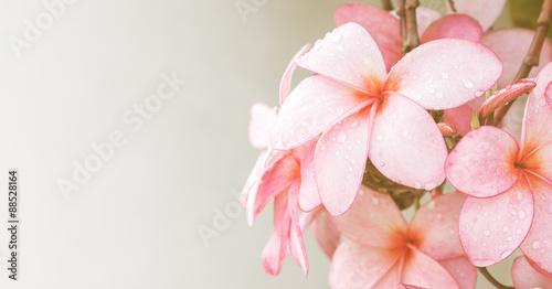Spoed Foto op Canvas Frangipani Pink Plumeria