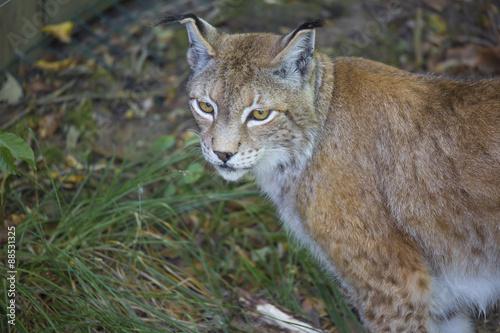 Foto auf Leinwand Luchs Lynx Boréal