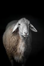 Sheep Portrait On Black Backgr...