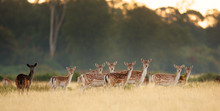 Group Of Fallow Deer