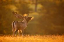 A Fallow Deer Buck Calling
