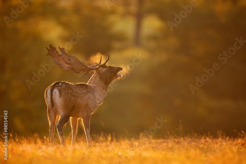 Fototapeta A fallow deer buck calling obraz
