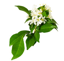 'Andaman Satinwood' Or 'Murraya Paniculata', Isolated On White Background And Clipping Path