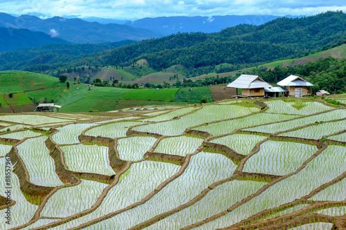 Poster Rijstvelden Rice field