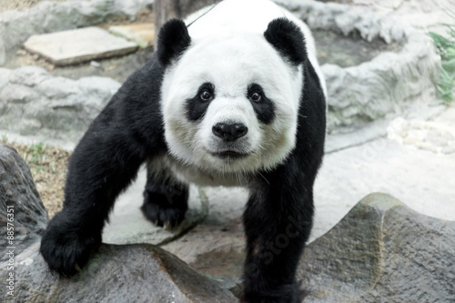 Fotografija  Lovely panda standing on the rock