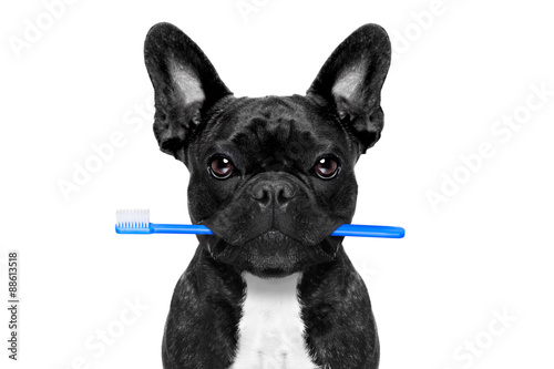 Wall Murals Crazy dog dental toothbrush dog
