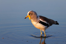 White-crowned Lapwing In Water