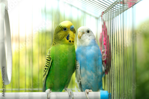 Fotografie, Obraz  Cute colorful budgies in cage, outdoors
