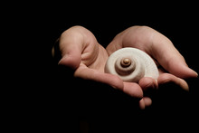 White Snail Shell In The Palms Of A Child