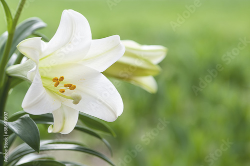 Photo  White Lillies