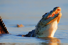 Nile Crocodile Rising Out Of Water