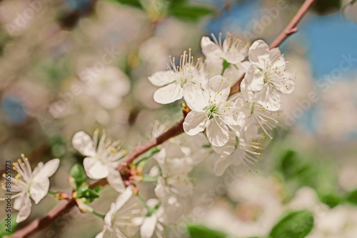 Foto op Canvas Madeliefjes Apple tree branch with flowers