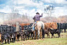 Cowboys Catching Newly Born Calves