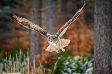 Flying Eurasian Eagle Owl In Colorfull Winter Forest