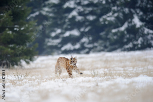 Poster Lynx Running eurasian lynx cub on snowy ground with forest in background