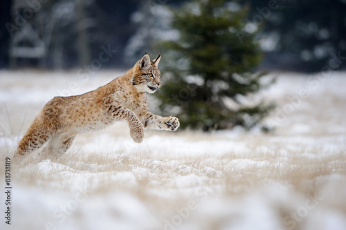 Staande foto Lynx Running eurasian lynx cub on snowy ground in cold winter