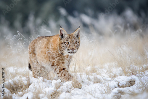 Poster Lynx Eurasian lynx cub walking on snow with high yellow grass on background