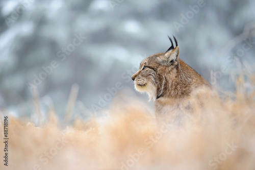 Tuinposter Lynx Eurasian lynx sitting on ground in winter time
