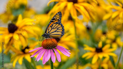 Photo  A Monarch Butterfly on a purple Echinacea cone flower amidst yellow Rudbeckia Go