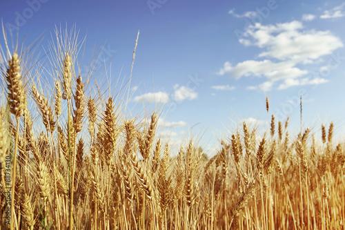 Papiers peints Culture Golden wheat field