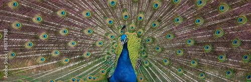 Foto op Aluminium Pauw Peacock display