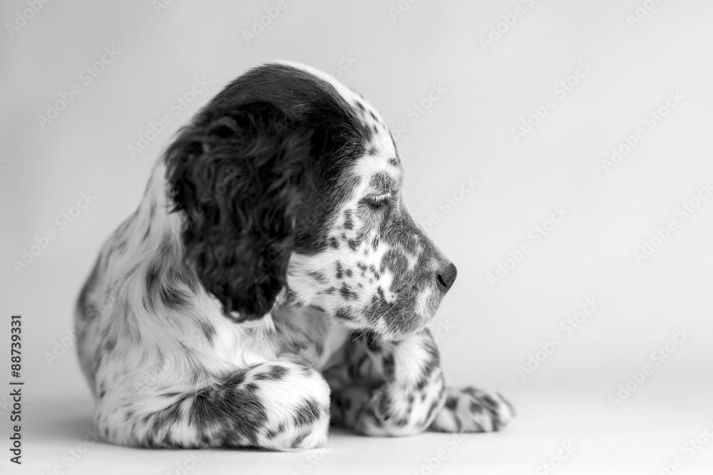 Fotografia Profilo Della Testa Di Un Cucciolo Di Cane Setter Inglese