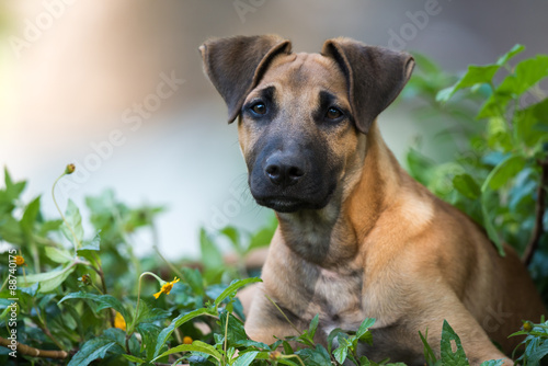 Leinwand Poster Young Great Dane mixed breed sitting in a flower patch