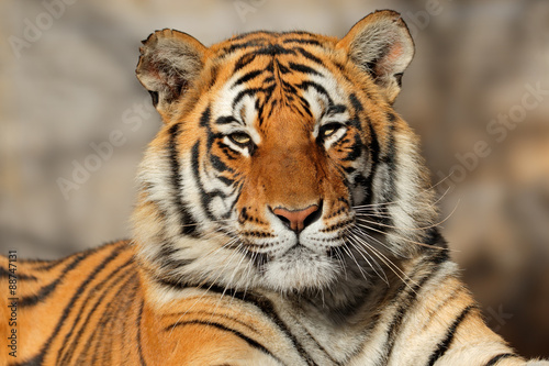 Portrait of a Bengal tiger (Panthera tigris bengalensis). Canvas Print