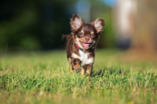 Happy Chihuahua Puppy Running On Grass