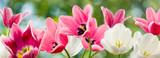 Fototapeta Tulipany - beautiful flowers on a green background