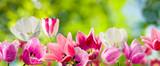 Fototapeta Tulipany - tulips in the garden