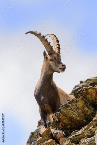 Tablou Canvas Stambecco al Colle del Leone - Monte Cervino  - Capra ibex