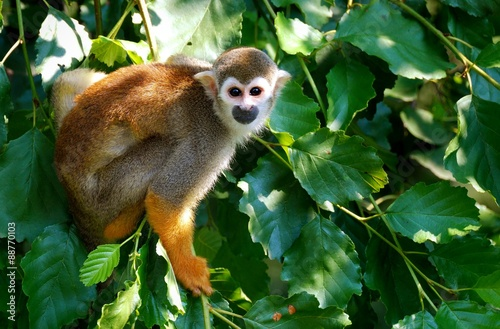 Foto op Canvas Aap Squirrel Monkey