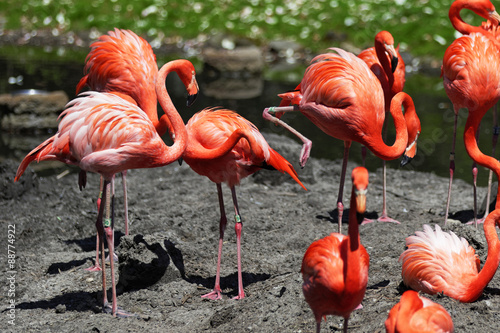 Beautiful pink flamingo. #88774922