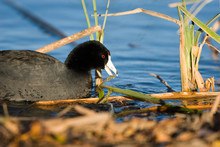 American Coot Feeds At The Edge Of A Marsh