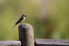 Say's Phoebe Holds A Bug On A ...