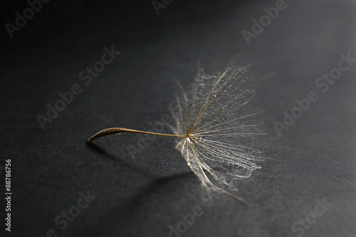 Obraz w ramie Beautiful dandelion with water drops on dark background
