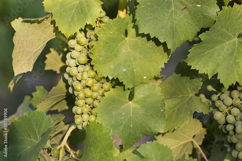 Valokuva  White wine grape treated by spraying