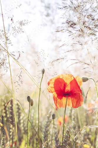 Wild meadow with poppy flowers, nature background. - 88803797