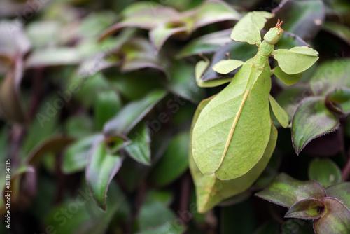 Foto  Phyllium giganteum, leaf insect