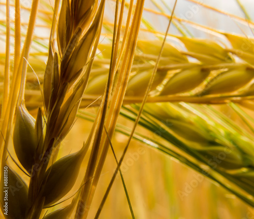 Light and shadow between the wheat
