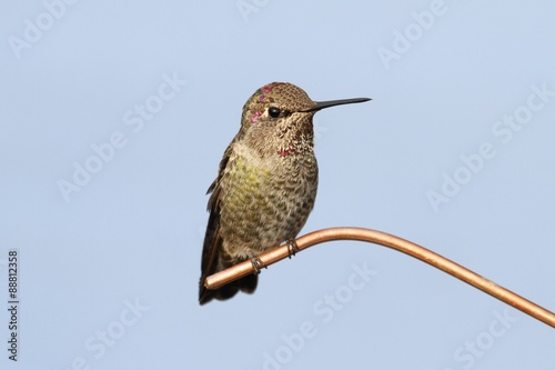 Photo  Annas Hummingbird (Calypte anna)
