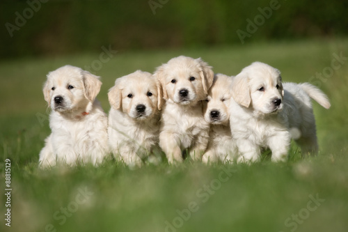 Obraz na plátně Litter of five golden retriever puppies