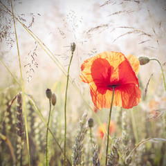 Obraz na Szkle Wild meadow with poppy flowers, nature background.