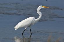 White Egret Walking Through Water